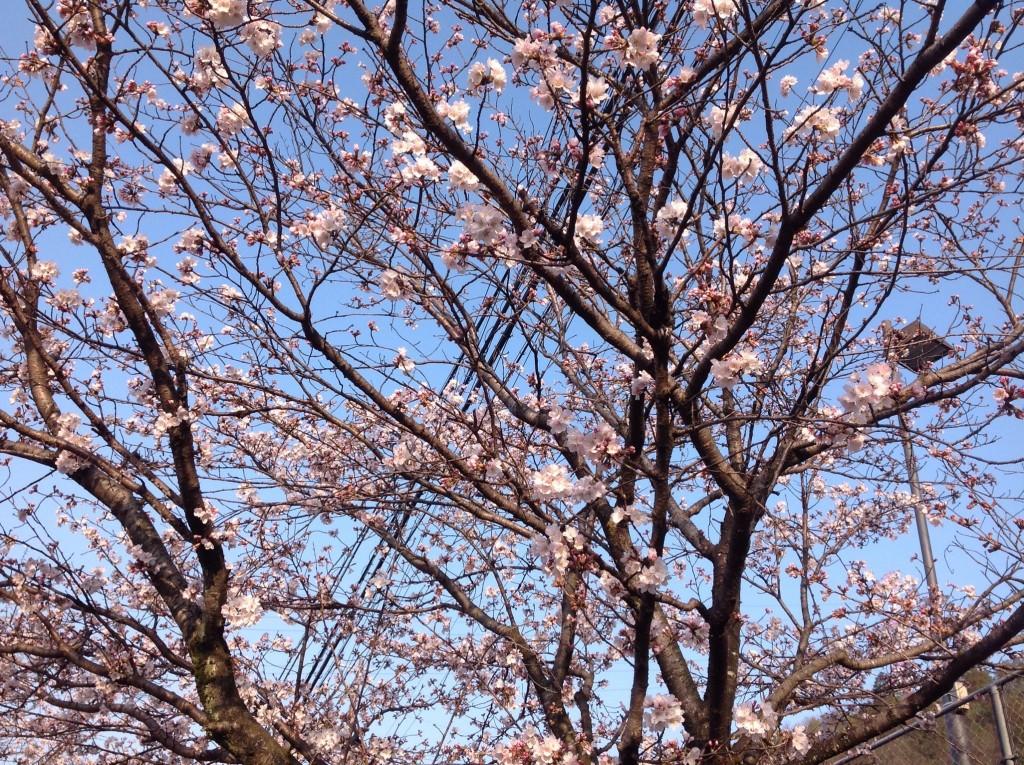 近くの桜の木です。